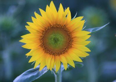 GrinterSunflowers_09052016_03