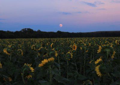 Sunflower_07